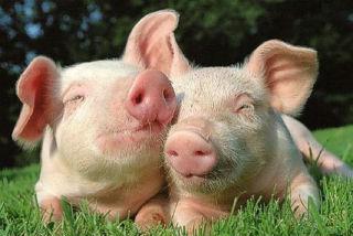 Селекция свиней