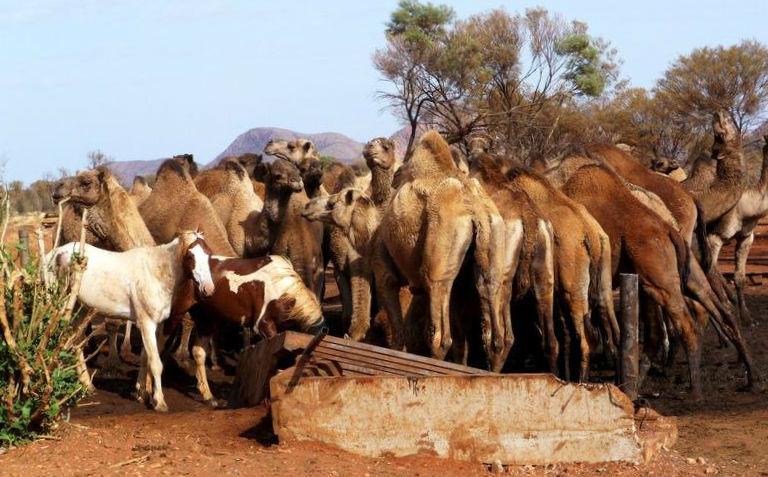 camelloshoros